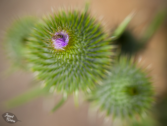 76/366: Tiny Sweat Bee on Thistle
