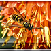 Gemeine Wespe (Vespula vulgaris). ©UdoSm