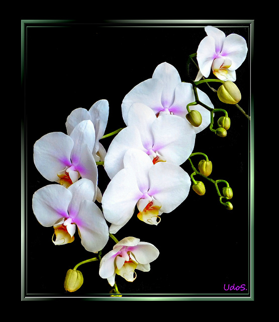 White orchids... ©UdoSm