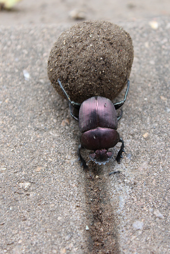 A Hard-working Dung Beetle