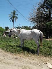 Cuban horse