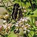 20170706 2432CPw [D~LIP] Landkärtchen (Araschnia levana), unbekanntes Insekt, UWZ, Bad Salzuflen
