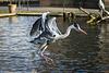 Grey heron (PiP)