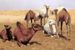 Dromadaire du sahara ..
