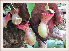 Nepenthes  ventricosa ..Plante carnivore !bonne journée
