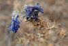 Echium plantagineum, Boraginaceae, Thirsty Land Poetry