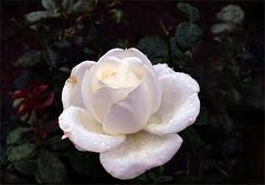 """""""The Roger Whittaker Rose"""""""