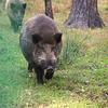 Das Wildschwein im Białowieża-Urwald