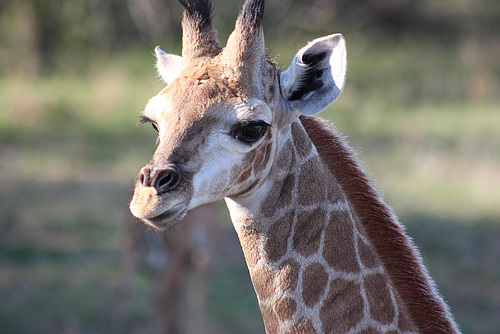 Baby Giraffe - Photo 1