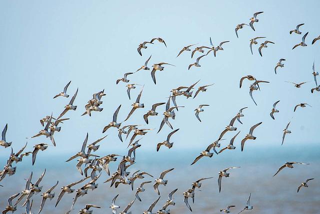 Birds in flight, Hoylake shore5
