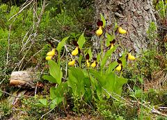Frauenschuh, wilde Orchide  (4 PicinPic)