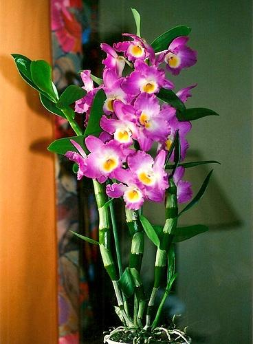 Dendrobium hybride Starclass Lilac