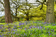 Bluebells below the  Oaks