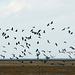 Birds arriving at Parkgate marshes.