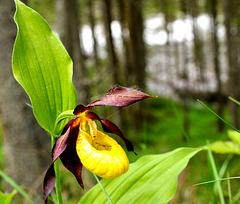 Frauenschuh, wilde Orchide