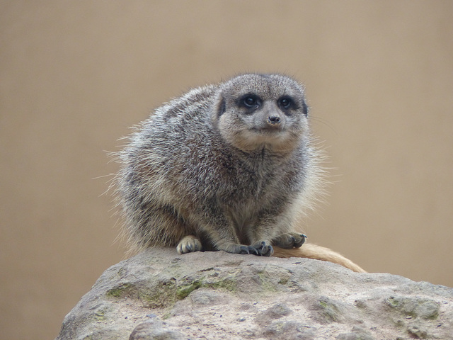 The Inevitable Meerkat (1) - 16 October 2015
