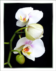 Orchid, today all in white... ©UdoSm