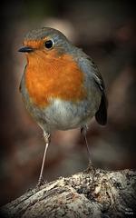 Par ce temps de chien, regarder Robin, ça fait du bien...à regarder avec la touche Z, c'est encore plus bien..!