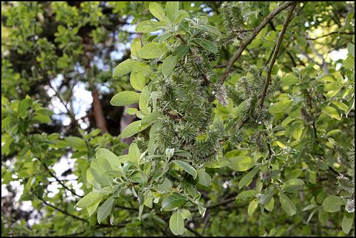 Salix caprea femelle