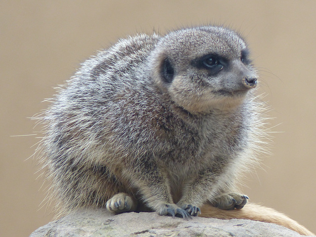 The Inevitable Meerkat (2) - 16 October 2015