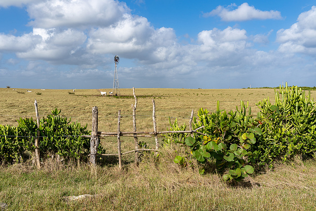cactus fence and cows