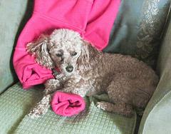 Ma caniche femelle Mia - 4 ans.