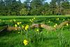 Daffodil Country