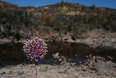 Allium ampeloprasum, Liliaceae, Porro-bravo