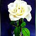 White Rose... ©UdoSm