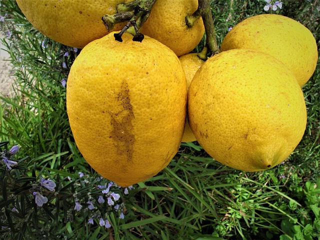 My lemons