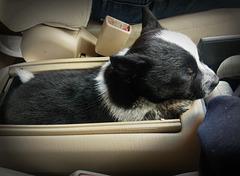 Puppy sleeps in center console