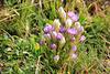 Kranzenzian - zweifarbig blühend