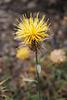 Centaurea melitensis, Asterales