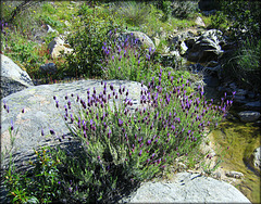 Mountain stream and Spanish lavender