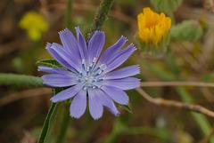 Cichorium intybus, Asteraceae