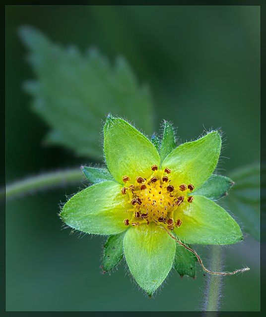 130/366: Sticky Cinquefoil Wildflower--No Petals, Just Sepals! [+1 in a note]