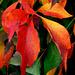 Herbstliche Weinblätter