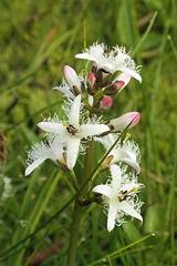 Trèfle d'eau = Menyanthes trifoliata, Ményanthacées (Haute-Savoie, France)