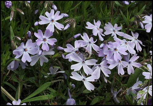Phlox subulata (2)
