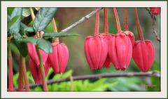 .......Crinodendron hookerianum ..Arbre aux lanternes du Chili