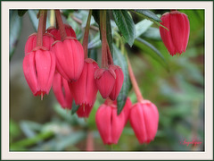 .Crinodendron hookerianum ..Arbre aux lanternes du Chili
