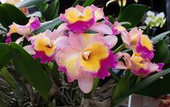 IMG 0855 Cattleya Hawaii