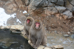 Japan, Jigokudani Yaen-Kōen Snow Monkey Park, Japanese Macaques at the Hot Spring
