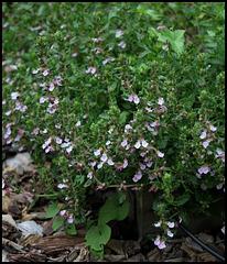 Teucrium chamaedrys , germandrée petit-chêne