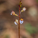 Corallorhiza odontorhiza (Autumn Coral Root orchid)