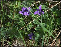 Viola (3)