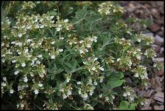 Teucrium montanum (1)