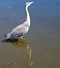 Heron reflected