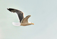 Seagull in flight (2)