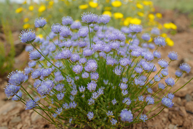 Jasione montana, Asterales